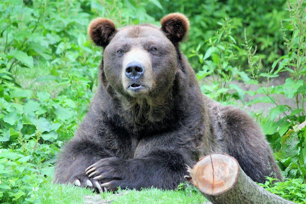 En amerikansk sortbjørn ligger i noget græs.