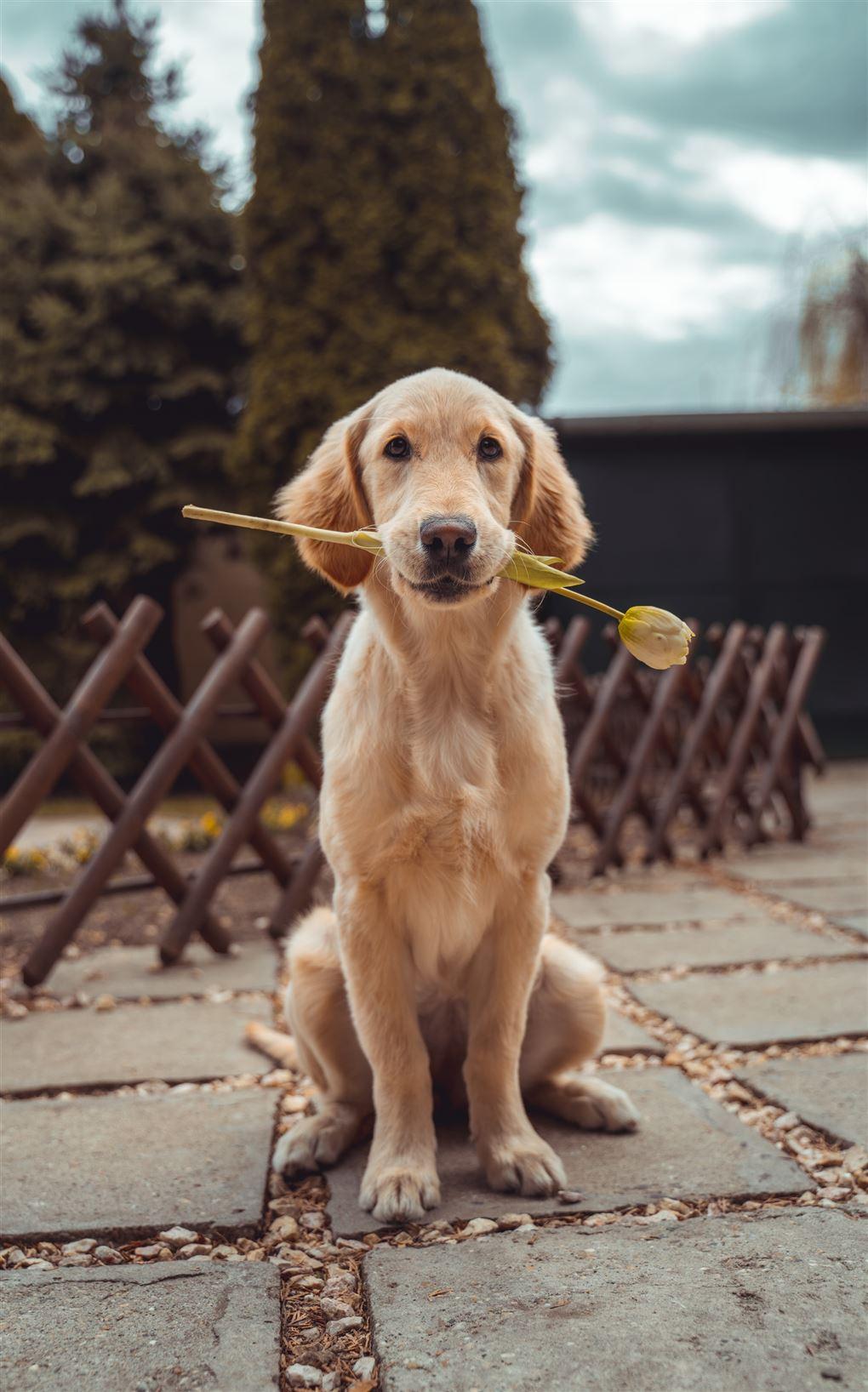 Hund med blomst i munden