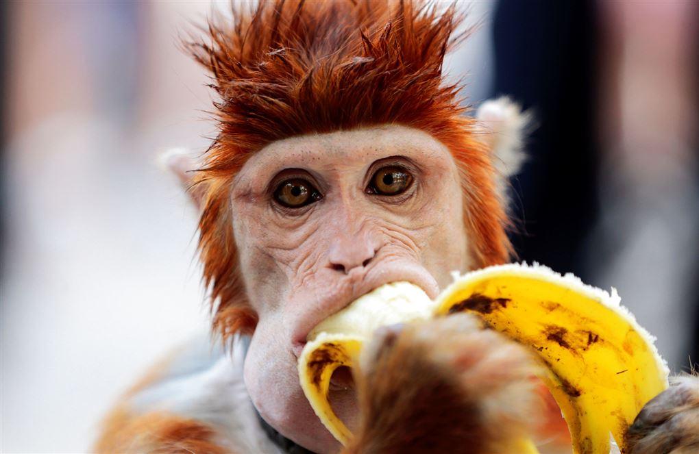 billede af en abe