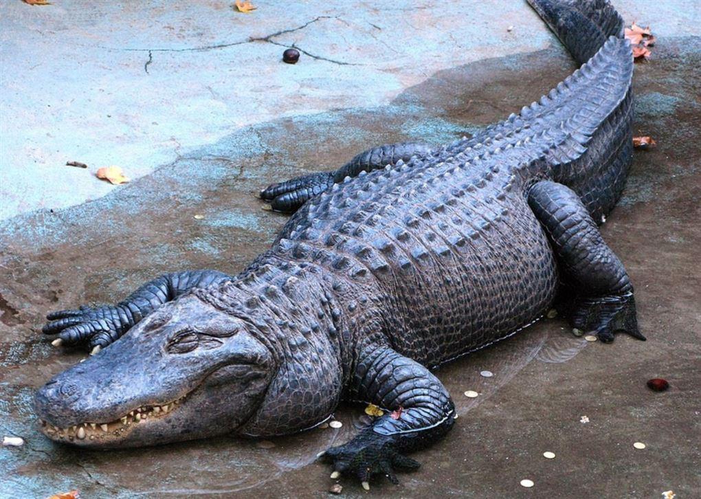 En stor alligator sover