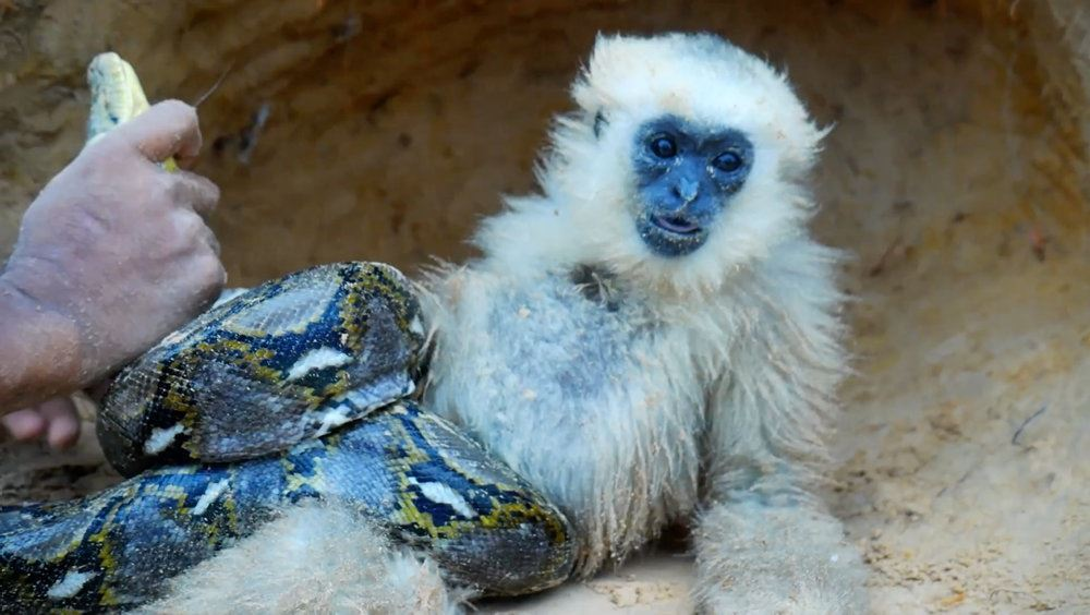 pythonslange kvæler abe