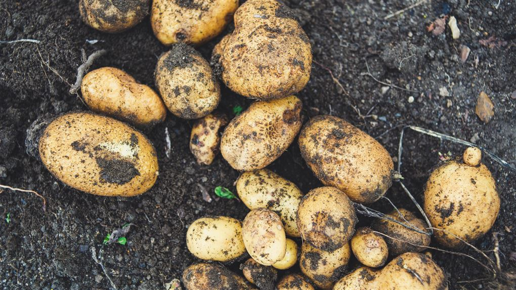 nyopgravede kartofler