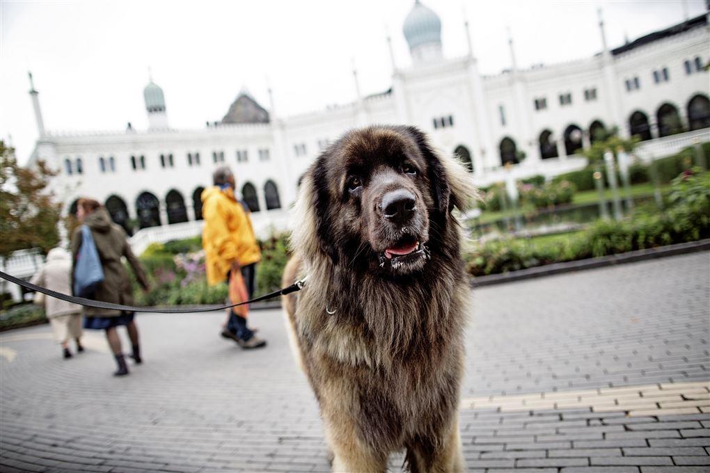 En hund foran Nimb