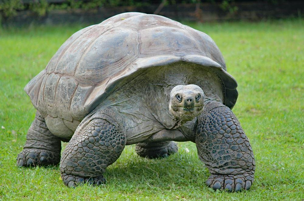 skildpadde går på græs