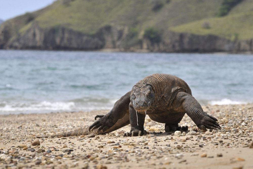 komodovaran går på strand