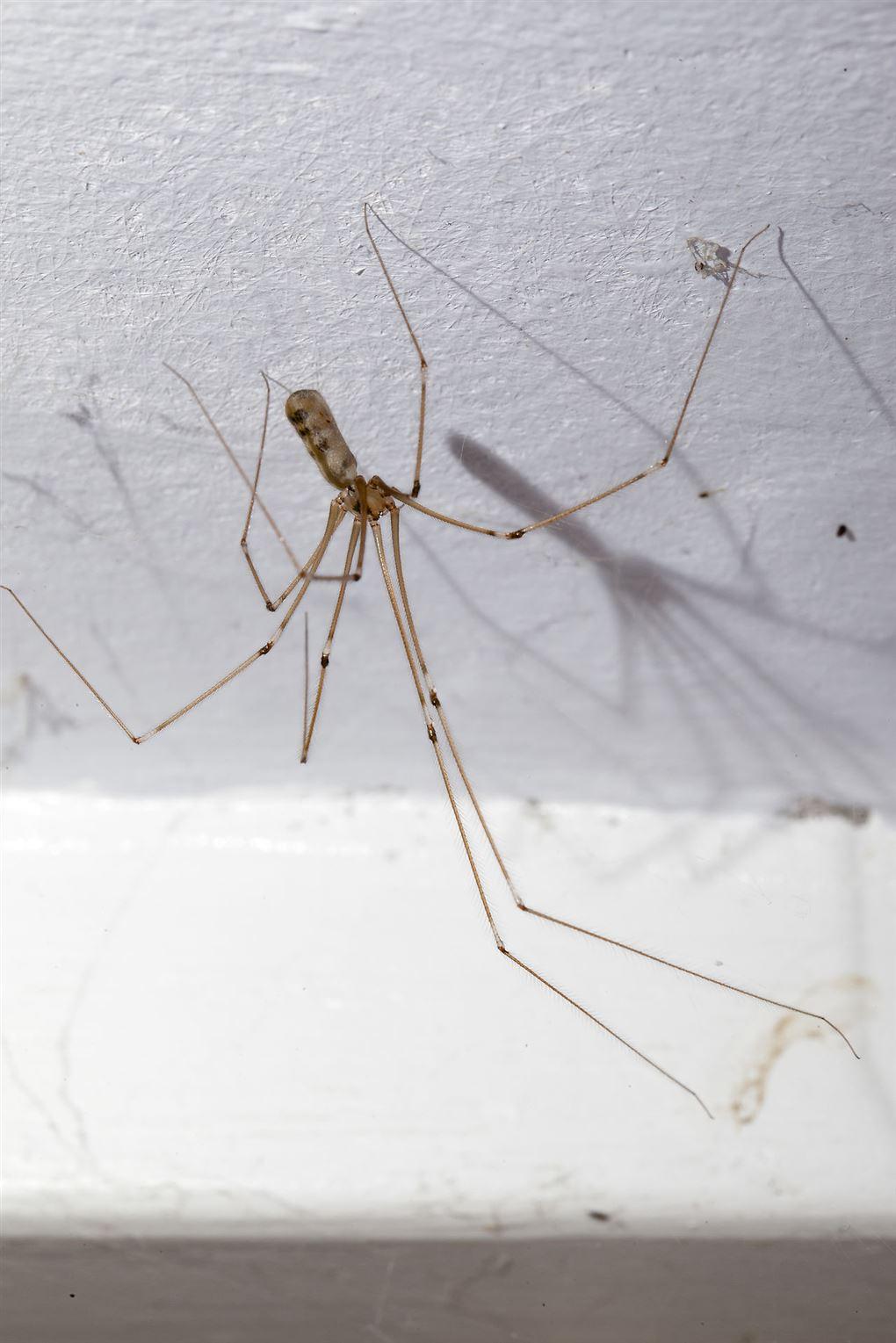 En langbenet edderkop