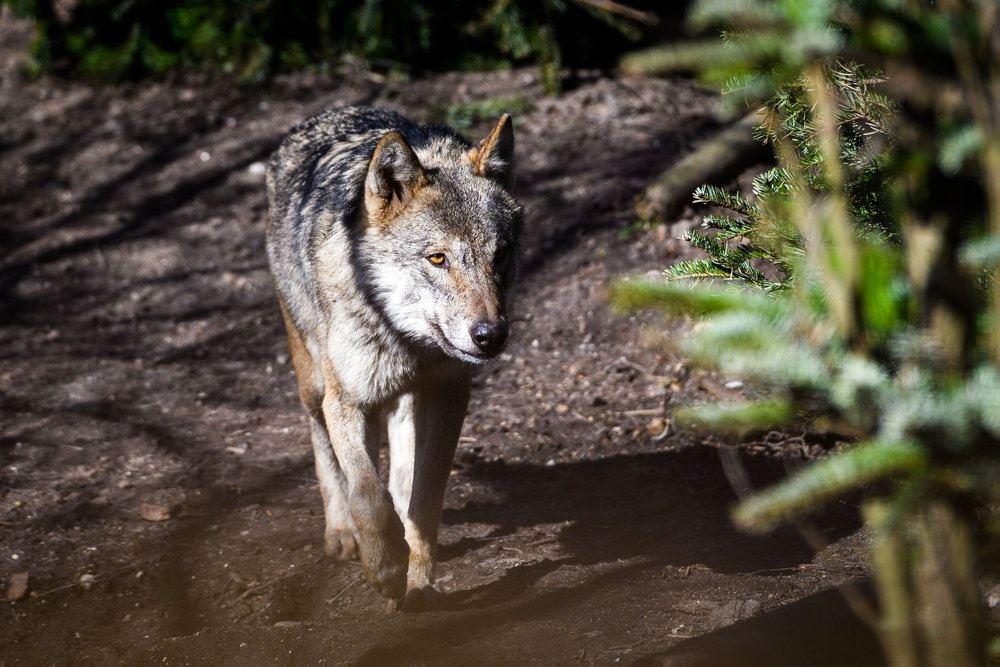 Arkivfoto af en ulv