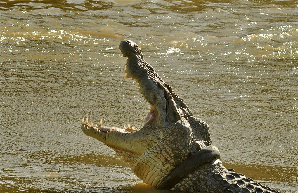 krokodille med åbent gab
