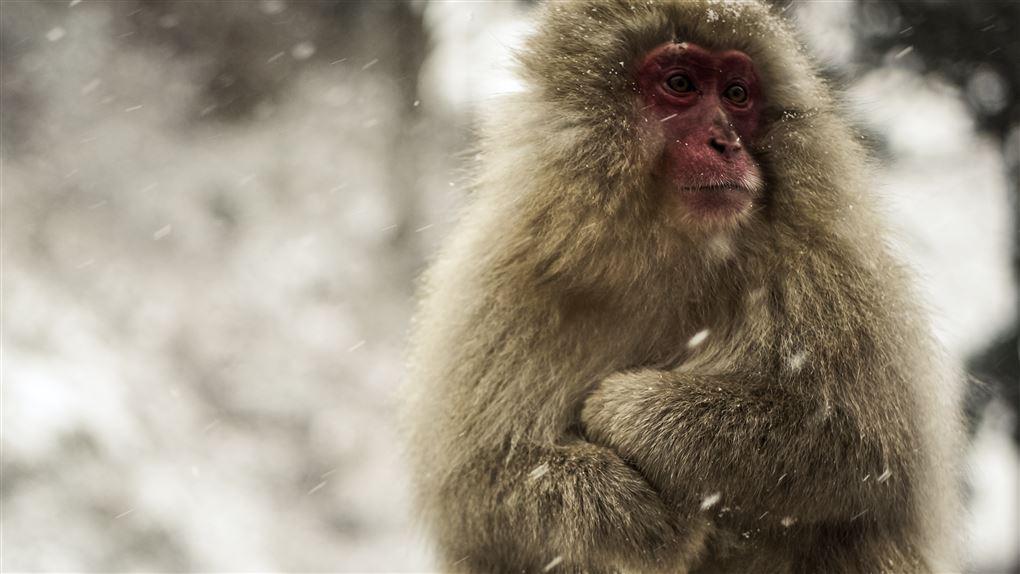 En abe skutter sig i snevejr.