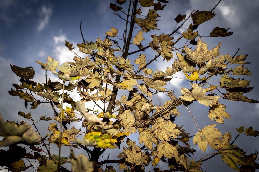 Gule blade på et træ i solen